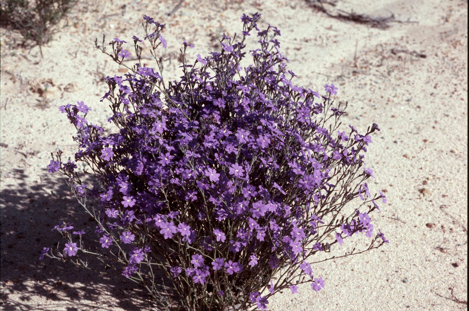 purple desert flowers australian pinterest desert flowers